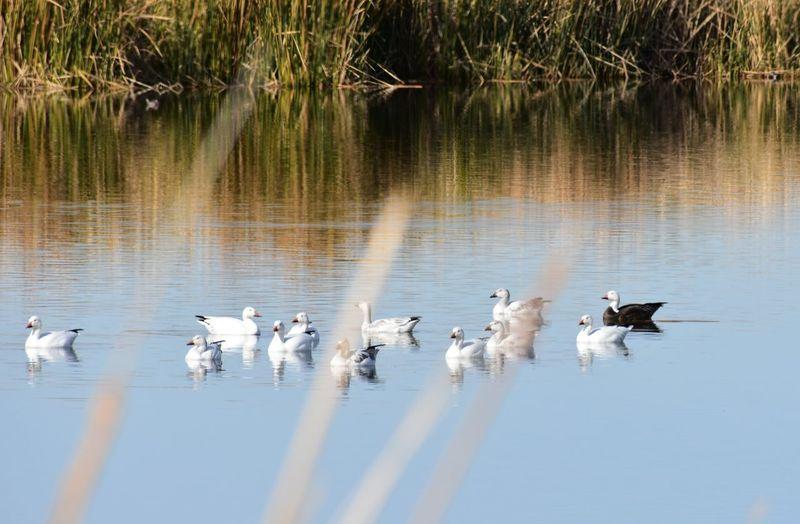 Animal Themes Animal Wildlife Animals In The Wild Bird Blue Goose Lake Nature No People Snow Geese F Water