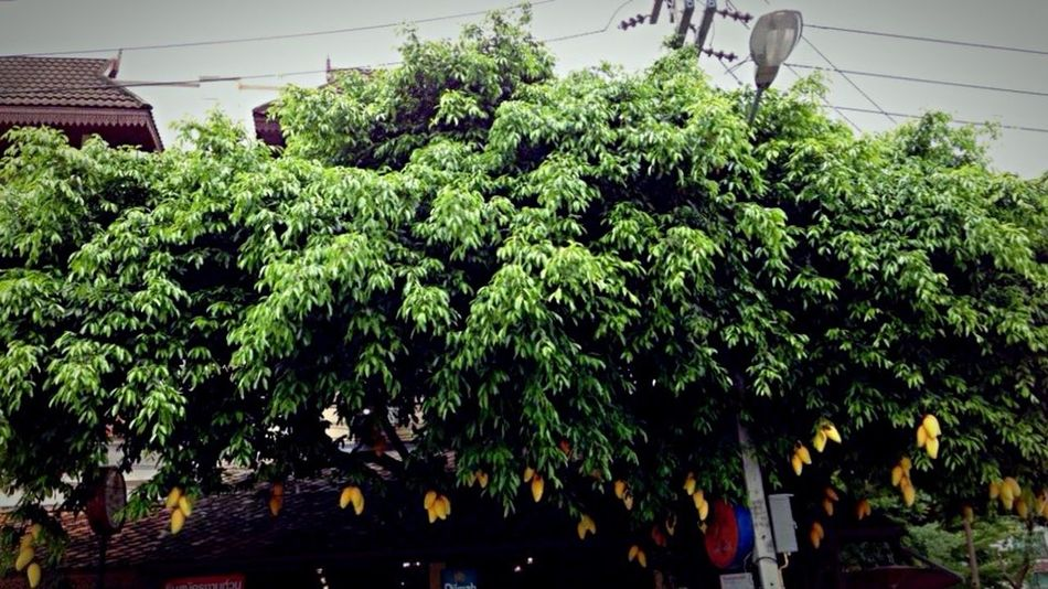 "The Street Photographer - 2016 EyeEm Awards The ""mango"" trees. Pseudo-yellow mangoes attract me to teast his real mangoes. Good advertising. Mango Fruit Pseudo Yellow Yellow Fruit Advertising Decive Chaing Mai Thailand Street Come With Me And Let Me Show You My World"