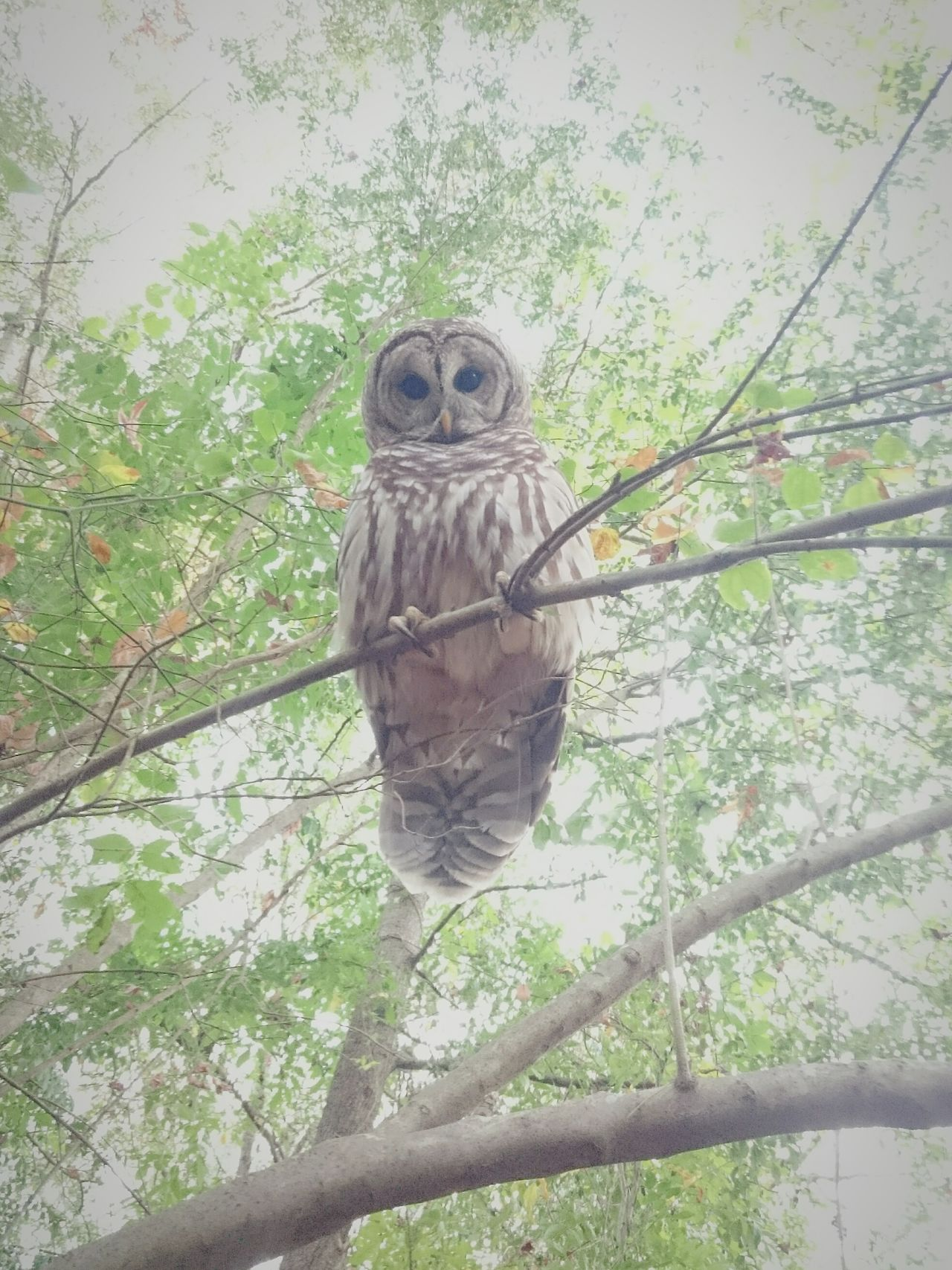 Owl Owlelujah! Twilight Betweenworlds Backyard Friend Spirit Wisdom Sophıa Athena Athens Georgia Owl Medicine Birdtribe Nature Love ♥