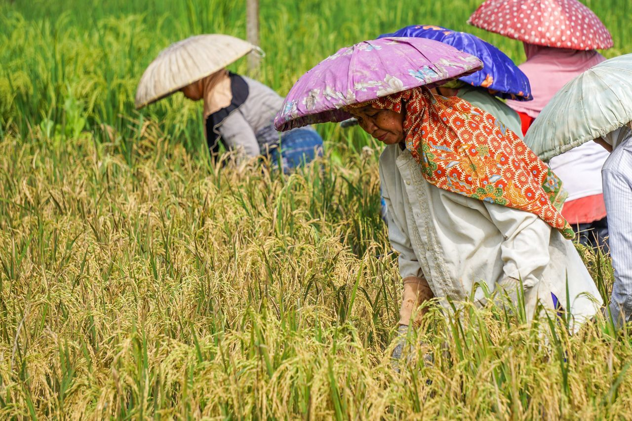 Harvest rice in the paddy field Agriculture Field Cereal Plant Crop  Farmer Growth Farm Rural Scene Women Food Nature Outdoors Working People Traditional Traditional Culture Borneo Borneo Island Banjarmasin