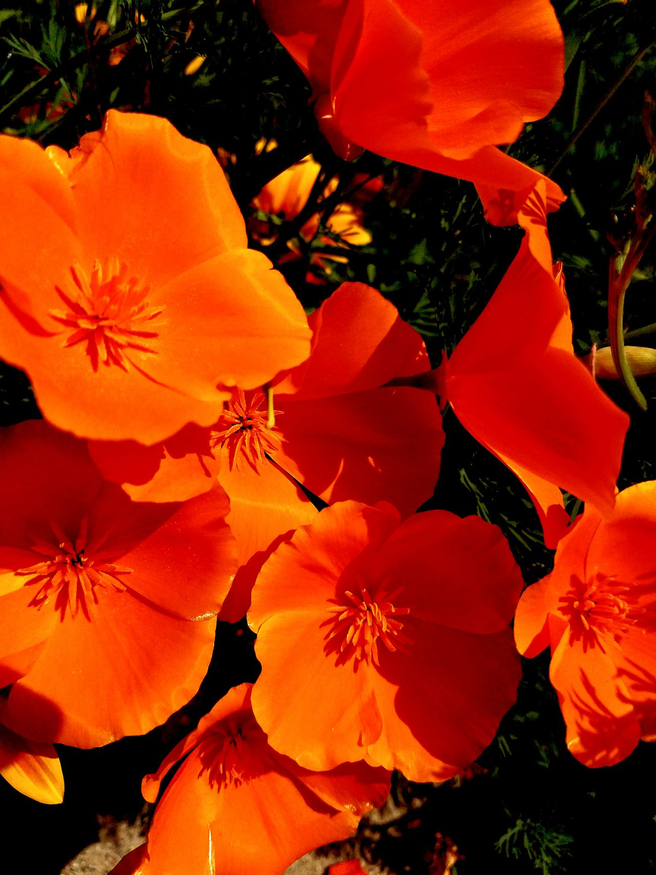 Poppy invasion Orange Color Close-up Beauty In Nature Flower Head Poppies  California Poppy