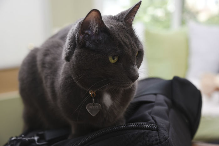 Black cat sitting on a bag Black Cat Close-up Day Domestic Animals Domestic Cat Focus On Foreground Indoors  Kitty Mammal No People One Animal Pets EyeEmNewHere