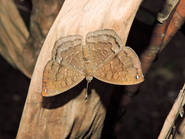 Beauty In Nature Brown Color Butterfly Camouflage Close-up Magazhu Metalmark Nature No People Outdoors Showcase March Yelapa