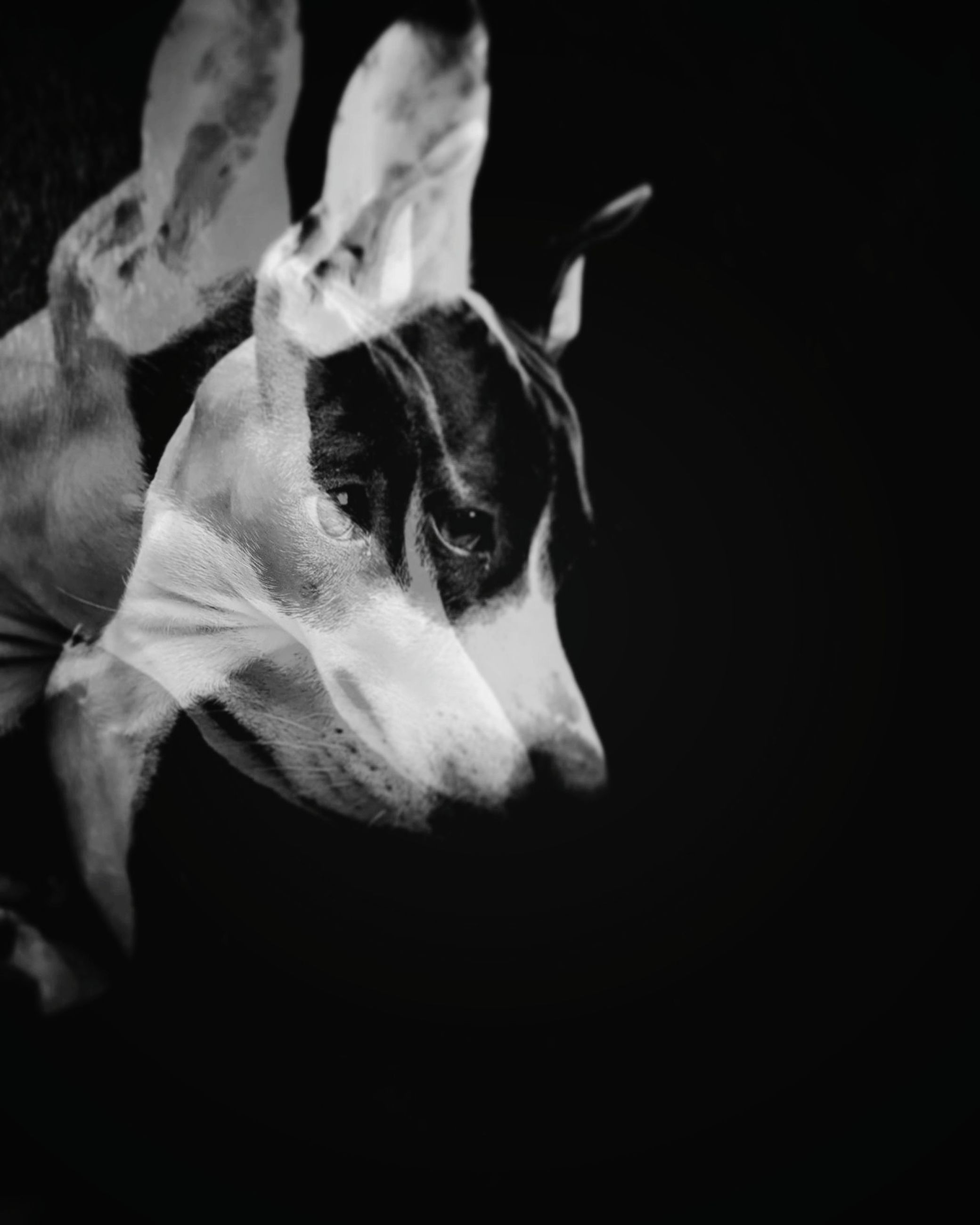 domestic animals, pets, mammal, one animal, dog, animal themes, black background, close-up, indoors, no people, day
