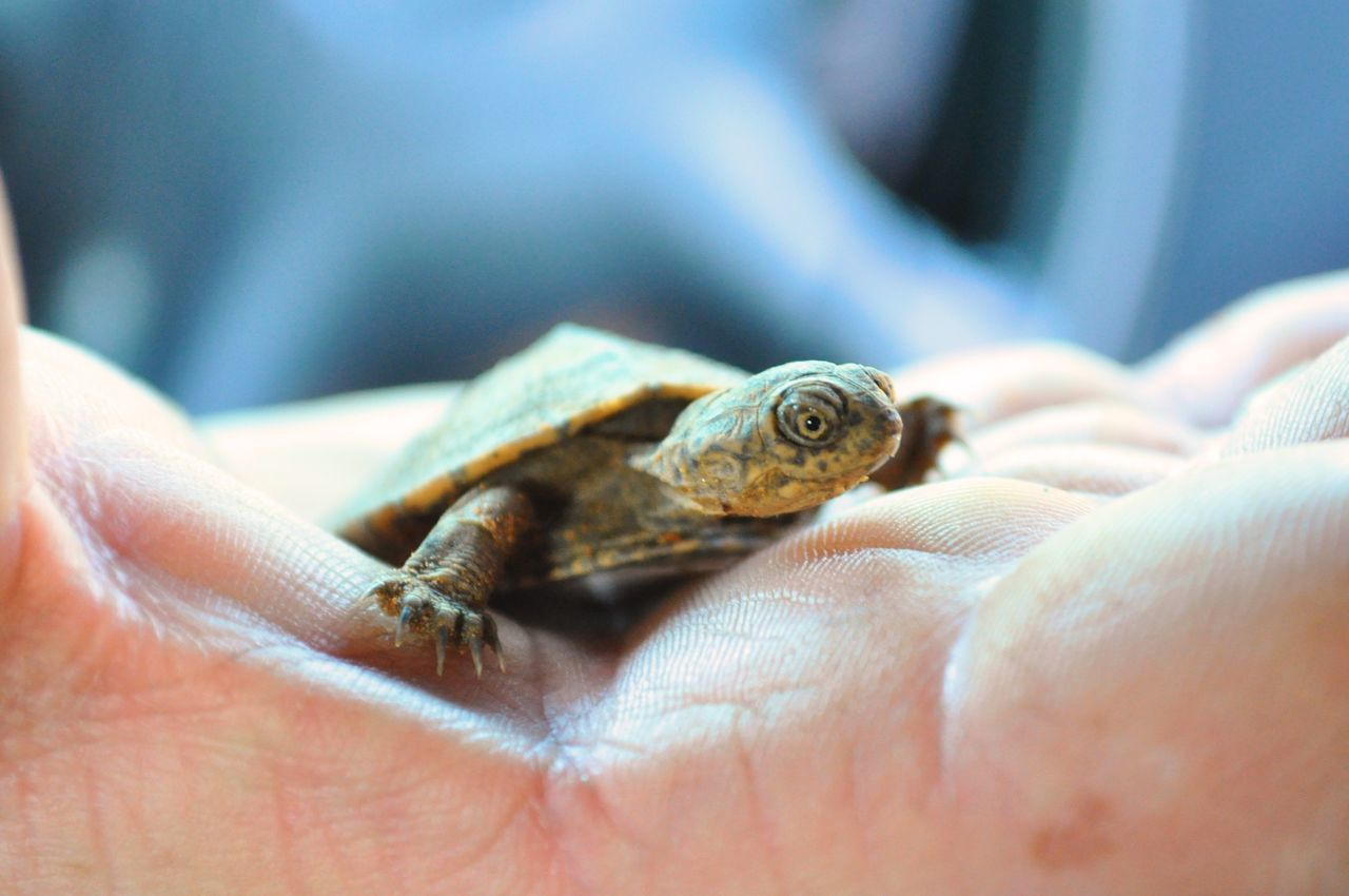 Animal Themes Animals In The Wild Baby Tortoise Close Up Close-up Cute Day Depth Of Field Holding Holding Animals Human Body Part Human Finger Human Hand Lifestyles Little Animal One Animal One Person Outdoors Real People Reptile Small Tortoise Unrecognizable Person Terrapin