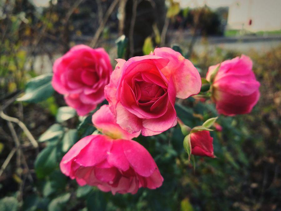 Flowers 🌸🌸🌸 Rosas🌹 Roses🌹 Rose♥ Rose🌹 Rosé Roses Flowers  Rosas🌹🌹 Роза 🌹 роза🌹 Розы🌹 Розы❤️ Цветы 🌸🌷🌼🌹 цветочки 🌼 Flowerlovers Flowerslovers Blume🌸 Blumenpracht🌺🍃 Flowers :) Huawei P9 Leica HuaweiP9plus Huawei P9 Plus HuaweiP9 Huaweiphotography Huawei Shots