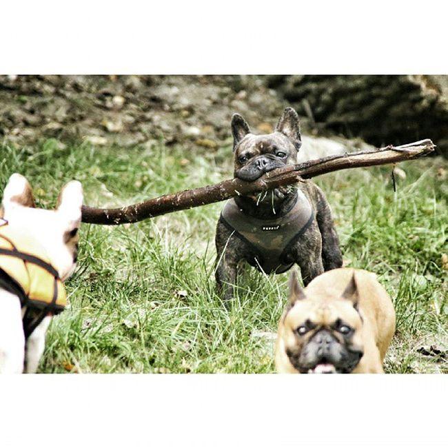 Zdzichudobrywariat Rambo RamboII RamboIII Firstblood WTF Frenchzone Frenchbulldog Bulldog Frenchies Crazyfrenchieslowers Instadog Piesel Peaceyo Gtcompany