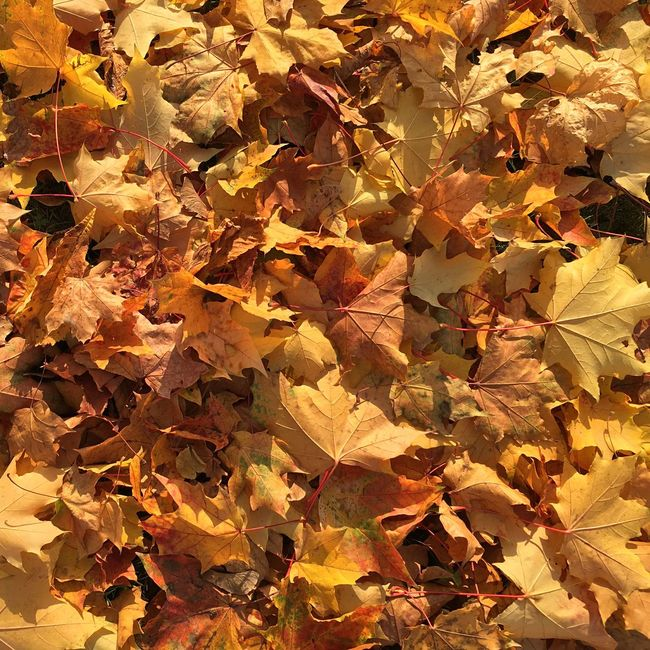 Autumn Autumn Colors Autumn Leaves Leaves AMPt - Still Life (Nature Morte) Enjoying The Sun Fall Beauty Beautiful Nature The Great Outdoors - 2016 EyeEm Awards