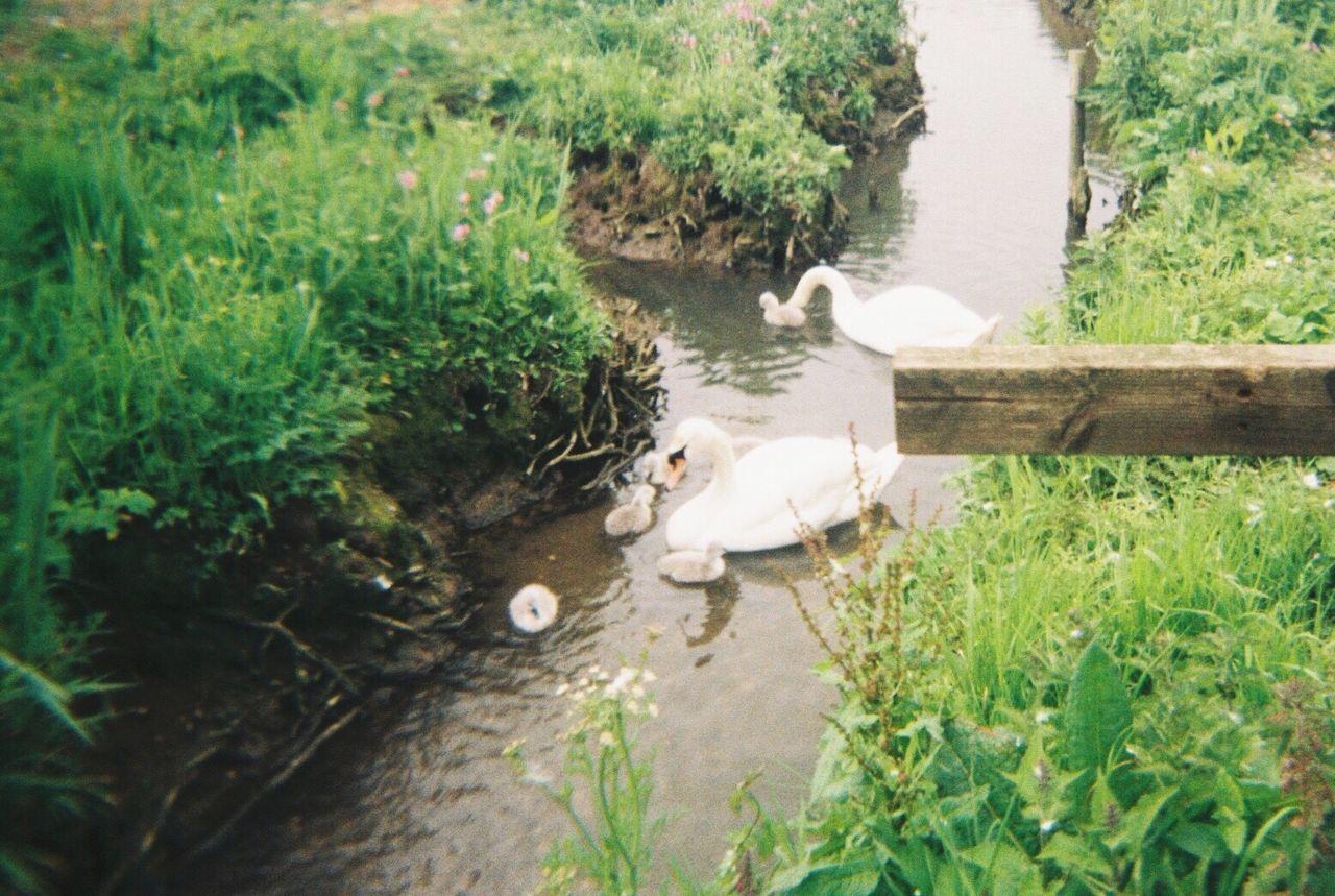 Swan Littleanimal Cute Cuteanimals Cutepets Littleswan Widelife Animals Naturelovers Animallovers Family Nature Swans Farm Swanfarm