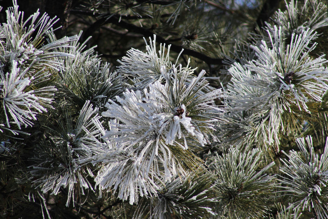 Frost on the pines Beauty In Nature Frost Frosty Morning Green Color Nature No People Pine Branches Snow Spring Storm White Color