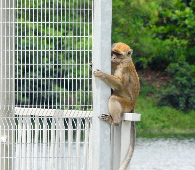 Holding on Fence Monkey Animal Wildlife Animal One Animal Mammal Primate Holding On Long Tailed Macaque Water Trees Nature At The Edge Nature Photography Nature_collection Day Animal Themes Hold On Tight Don't Let Go EyeEmNewHere