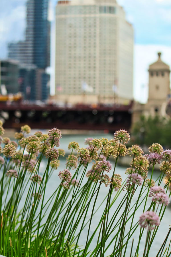 Chives blossoms in foreground, Chicago River in background. Chicago Chicago River Chives Blossom Architecture Beauty In Nature Blooming Bridgehouse Building Exterior Built Structure City Close-up Day Flower Flower Head Fragility Freshness Growth Michigan Ave Bridge Nature No People Outdoors Plant Sky Stem Water