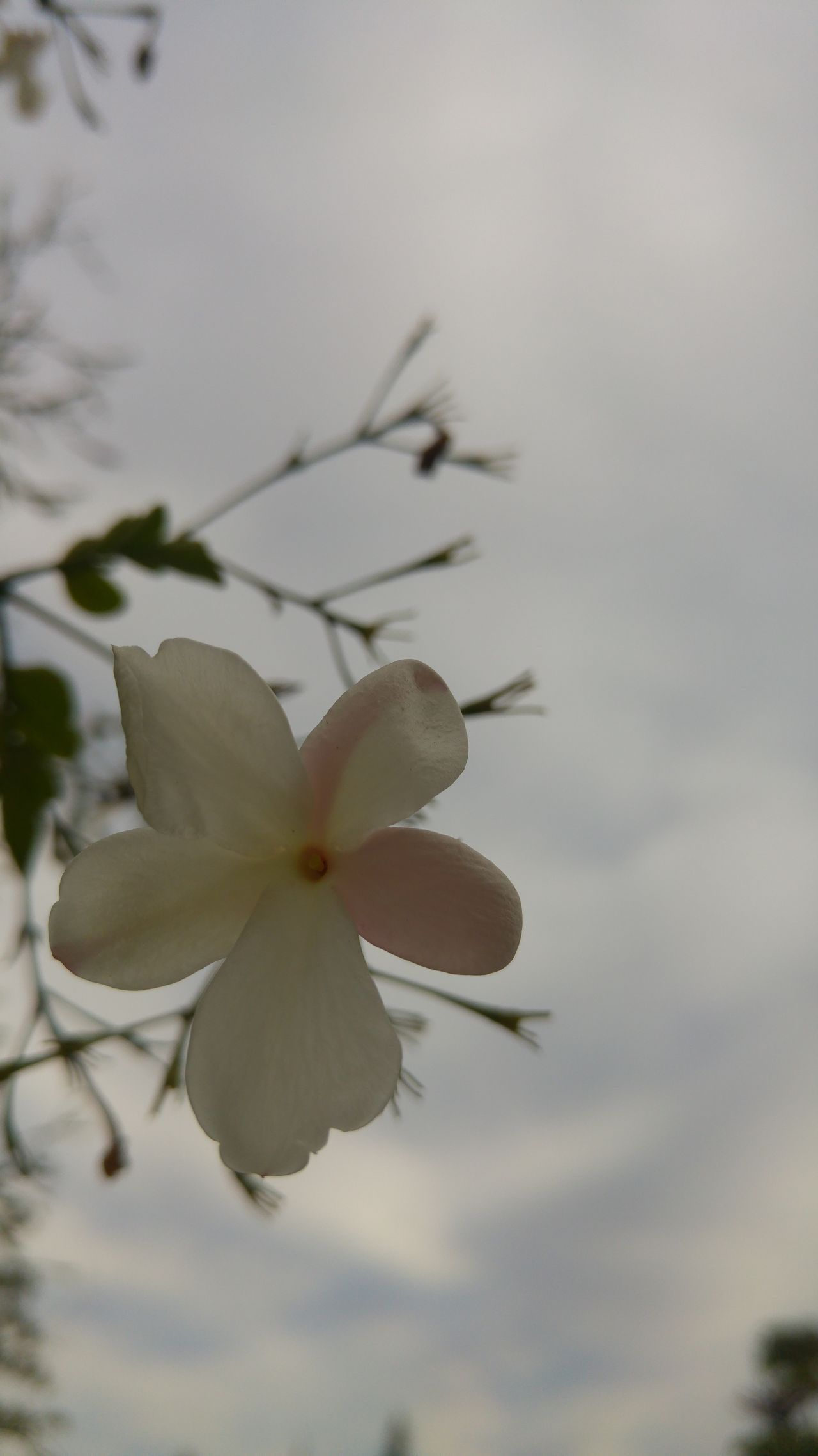 Nature Beauty In Nature Growth Flower No People Plant Freshness Springtime Close-up Outdoors Fragility Day Flower Head Sky Jasmine Jasmine Flower