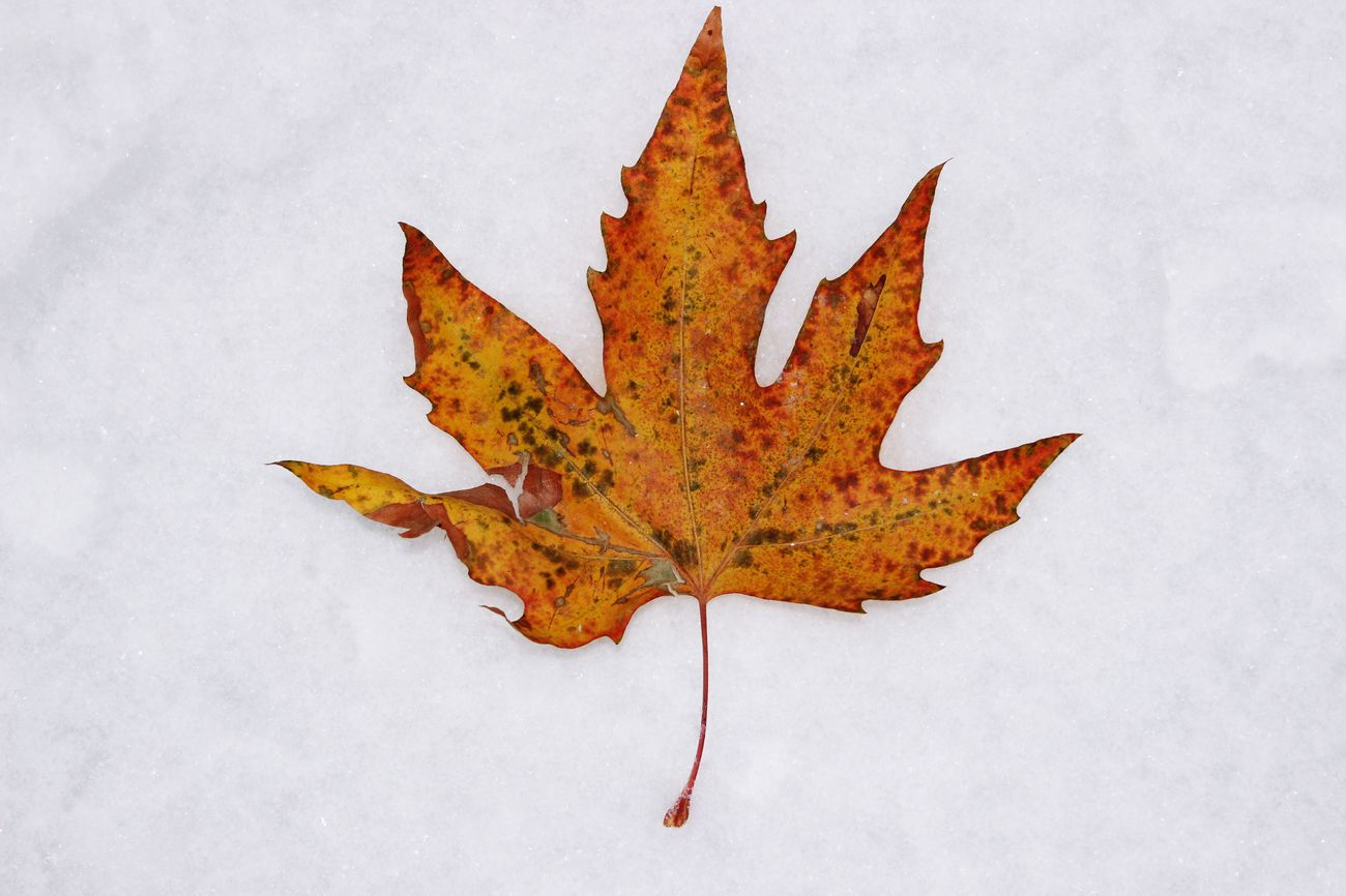 The seasonal changes it always beautiful ❤🍂❄️ Orange Snow Fall Tree Cold Temperature Leaf Winter No People Outdoors Nature Close-up Beauty In Nature EyeEmNewHere Snow Flakes EyeEm Nature Lover Directly Above Orange Color