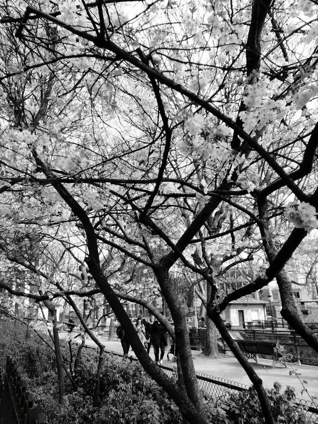 Springtime Paris Cherry Blossoms Promenade