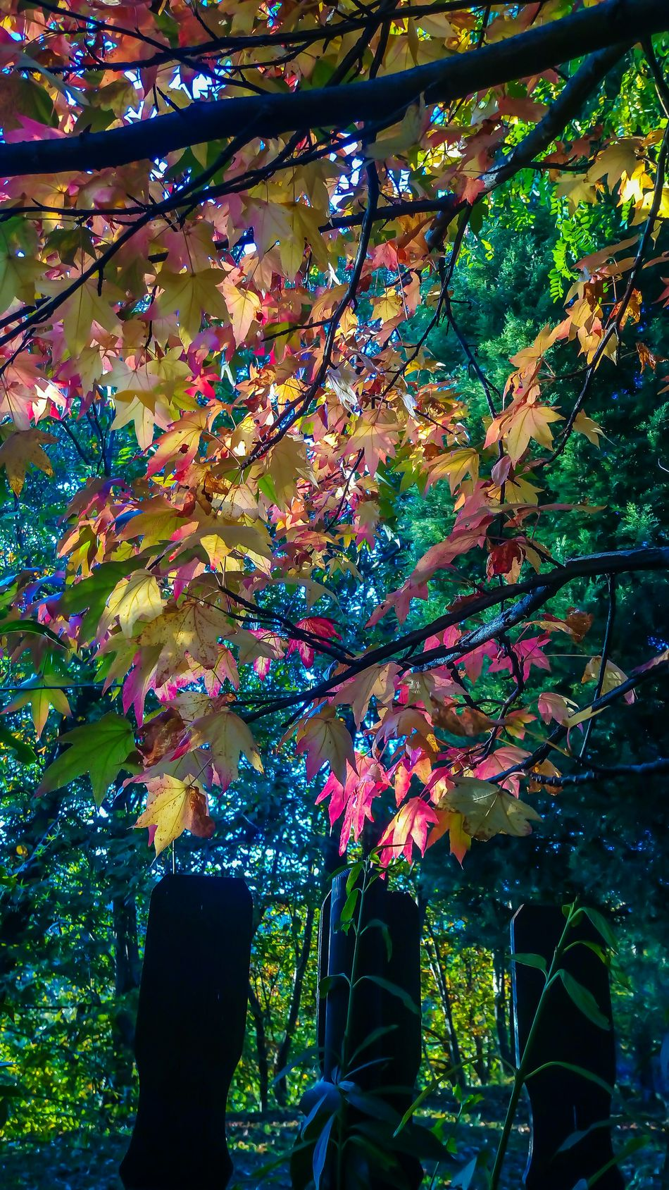 Multi Colored Tree Beauty In Nature Autumn Liquidambar Colors Color Explosion In The Wood Countrystyle Countryhouse Athomeinthewood Athomeinthemountains StonexOneGalileo Garden Photography At Home Sweet Home Mygardentoday Autumn Colors Autumn Orange Color Beauty In Nature Tree
