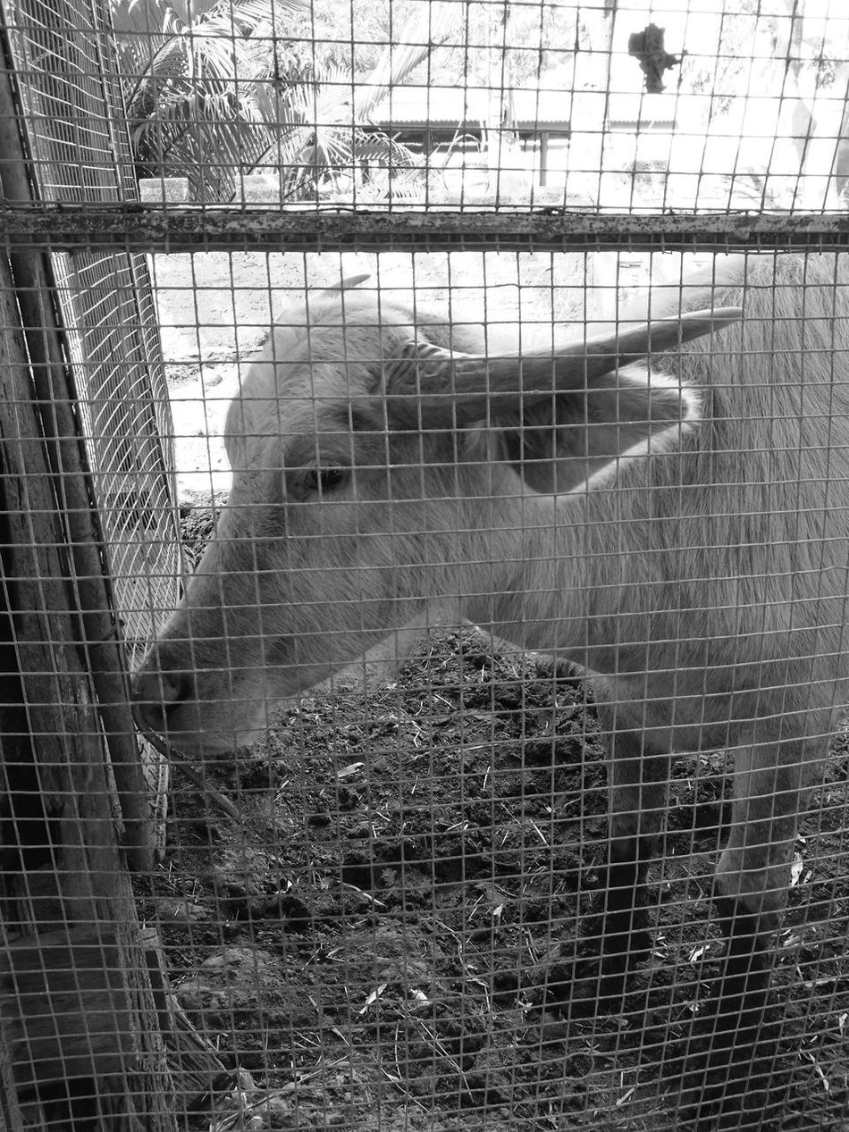 Cage Metal Trapped Close-up Security Bar Day Indoors  Young Adult One Person People Buffalo Animal Black-and-white Photography