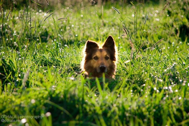 Grass One Animal Animal Themes Looking At Camera Mammal Dog Pets Portrait Domestic Animals Outdoors Day Nature No People Fox Close-up