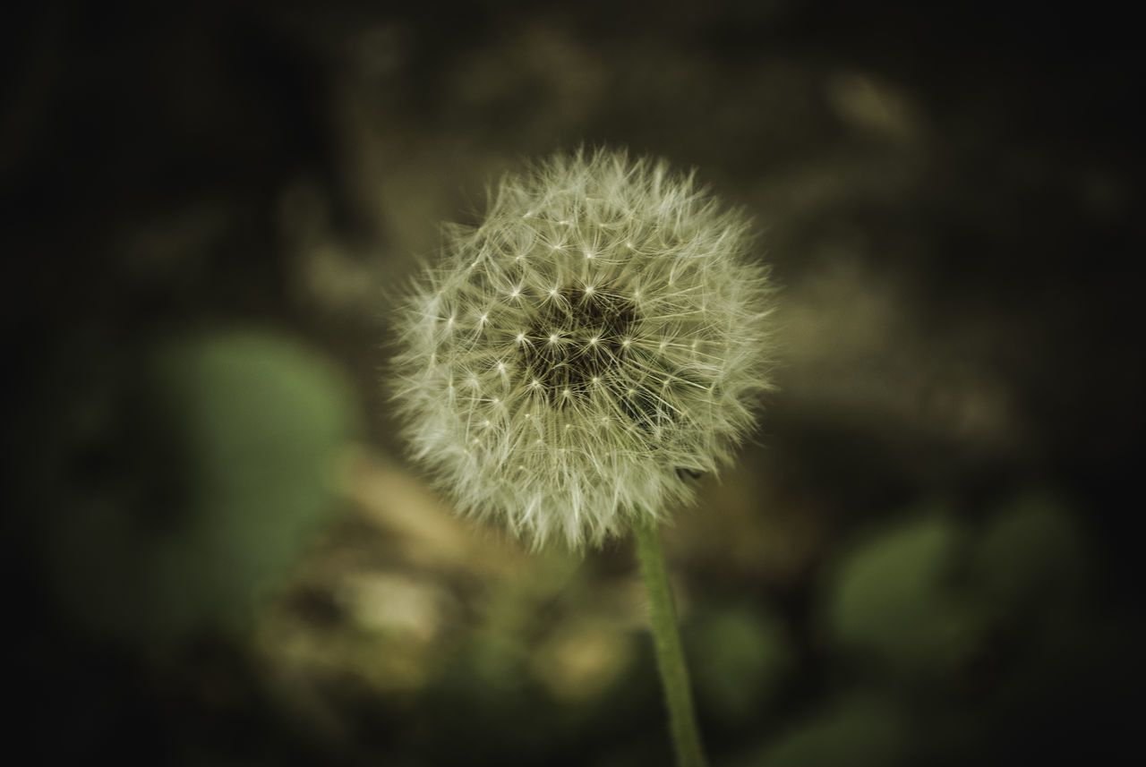 flower, dandelion, fragility, nature, growth, flower head, softness, plant, focus on foreground, freshness, close-up, uncultivated, no people, outdoors, beauty in nature, day