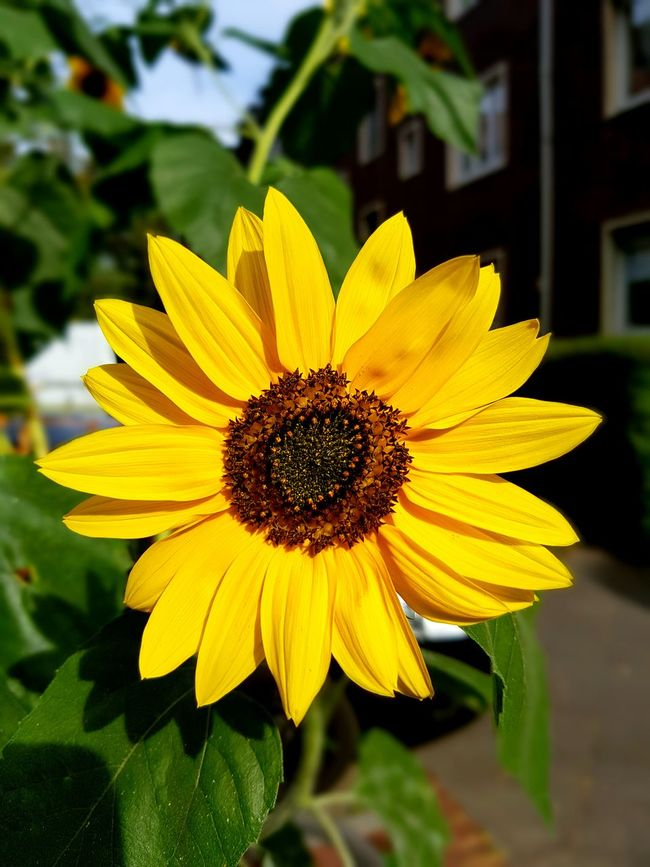 Flower Single Flower Flower Head Sunflower Yellow Freshness Beauty In Nature Focus On Foreground Nature Botany Sunny Day Street Life City Street City Nature City Life Nature_collection Macro Macro_collection In Bloom Day GalaxyS7Edge