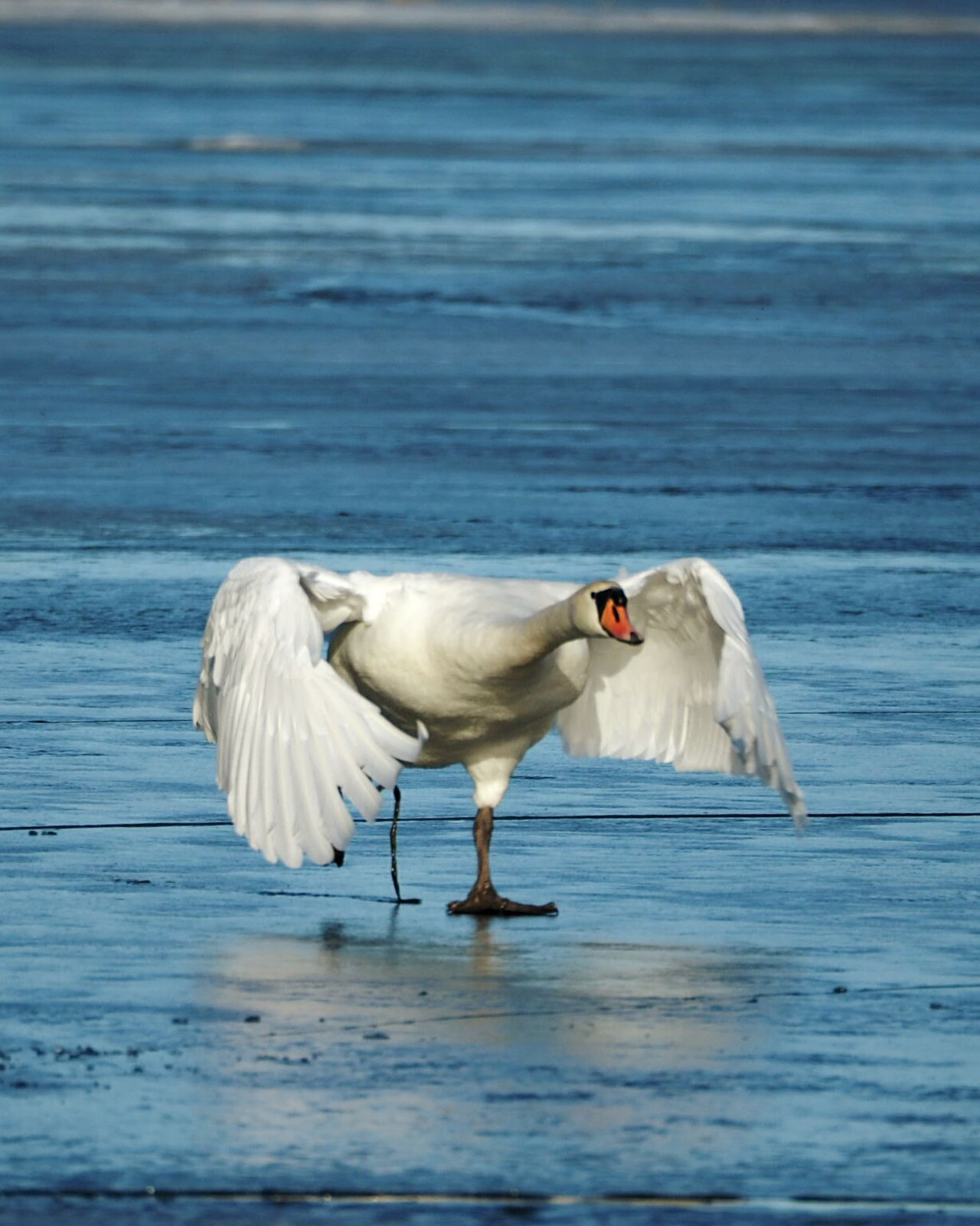 Bird Water One Animal Animals In The Wild Animal Themes No People Animal Wildlife Sea Bird Frozen Sea Spreading Wings Winter Nature Outside Swan Motion Sunny Winter Day Nature Animals In The Wild Spread Wings Animal Beautiful Nature Beauty In Nature Winter Ice Outdoors