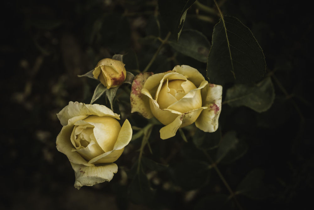 roses.. Beauty In Nature Close-up Flower Head Flowers Freshness Growth Nature Night No People Outdoors Plant Roses Roses🌹 Tree