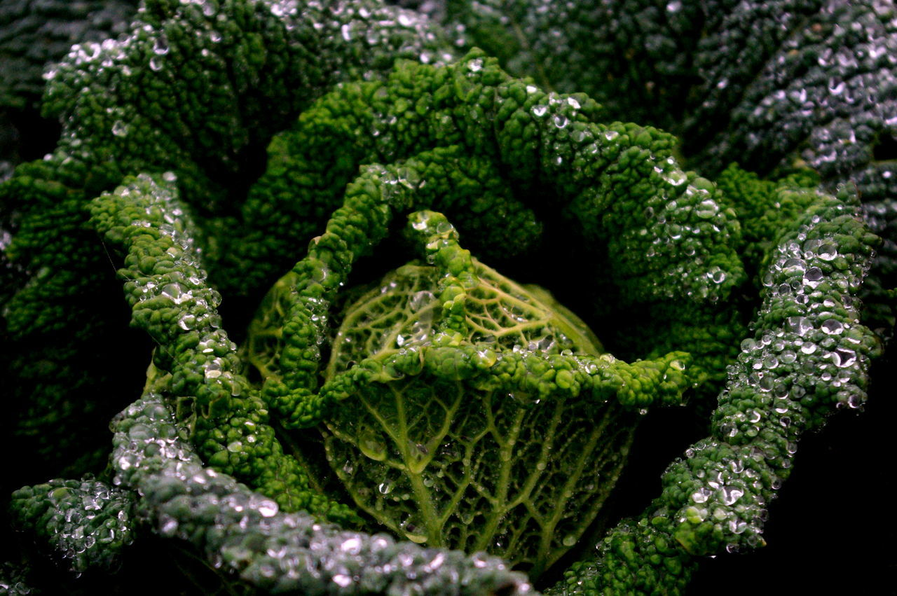 out in the cold Dec 2016 Beauty In Nature Broccoli Close-up Day Freshness Green Color Growth Healthy Eating Nature No People Outdoors Vegetable