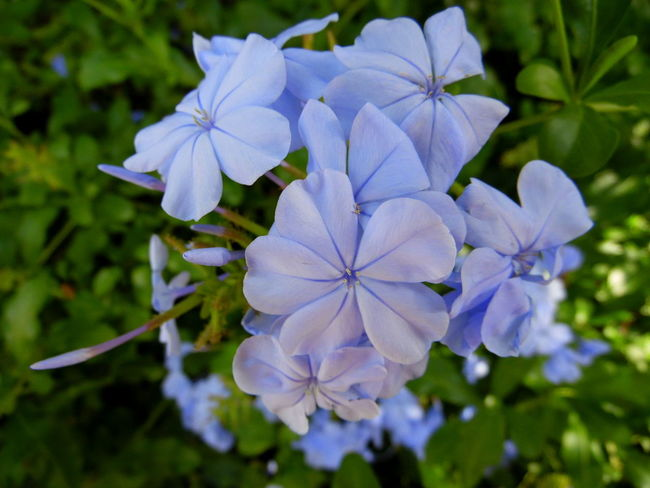 Beauty In Nature Blooming Blossom Blue Flowers Blue Plumbago Botany Close-up Depth Of Field Flower Flower Head Focus On Foreground Fragility Freshness Garden Green Growth Nature Nature No People Nature's Diversities Purple Selective Focus Spring Spring Flowers Springtime