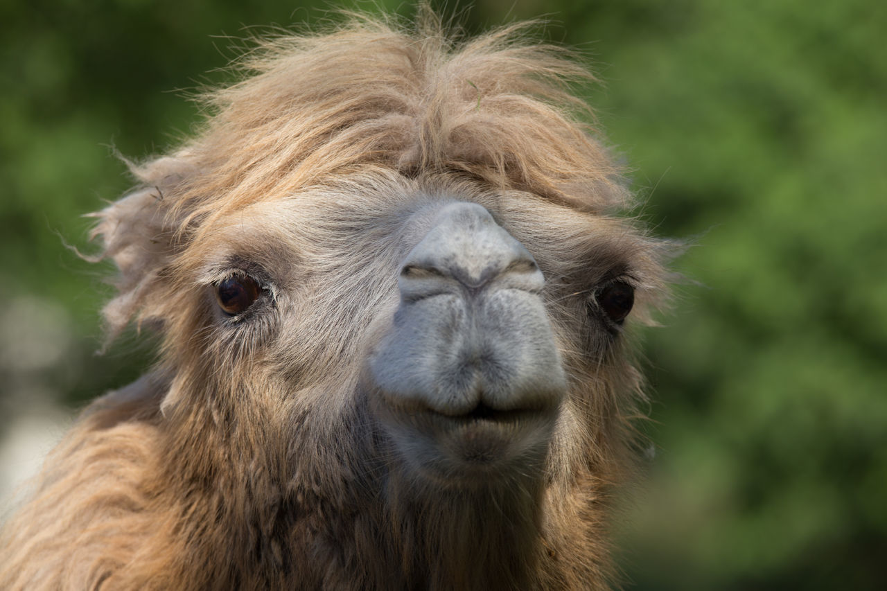 Beautiful stock photos of camel, Animal Hair, Animal Head, Animal Themes, Animals In The Wild