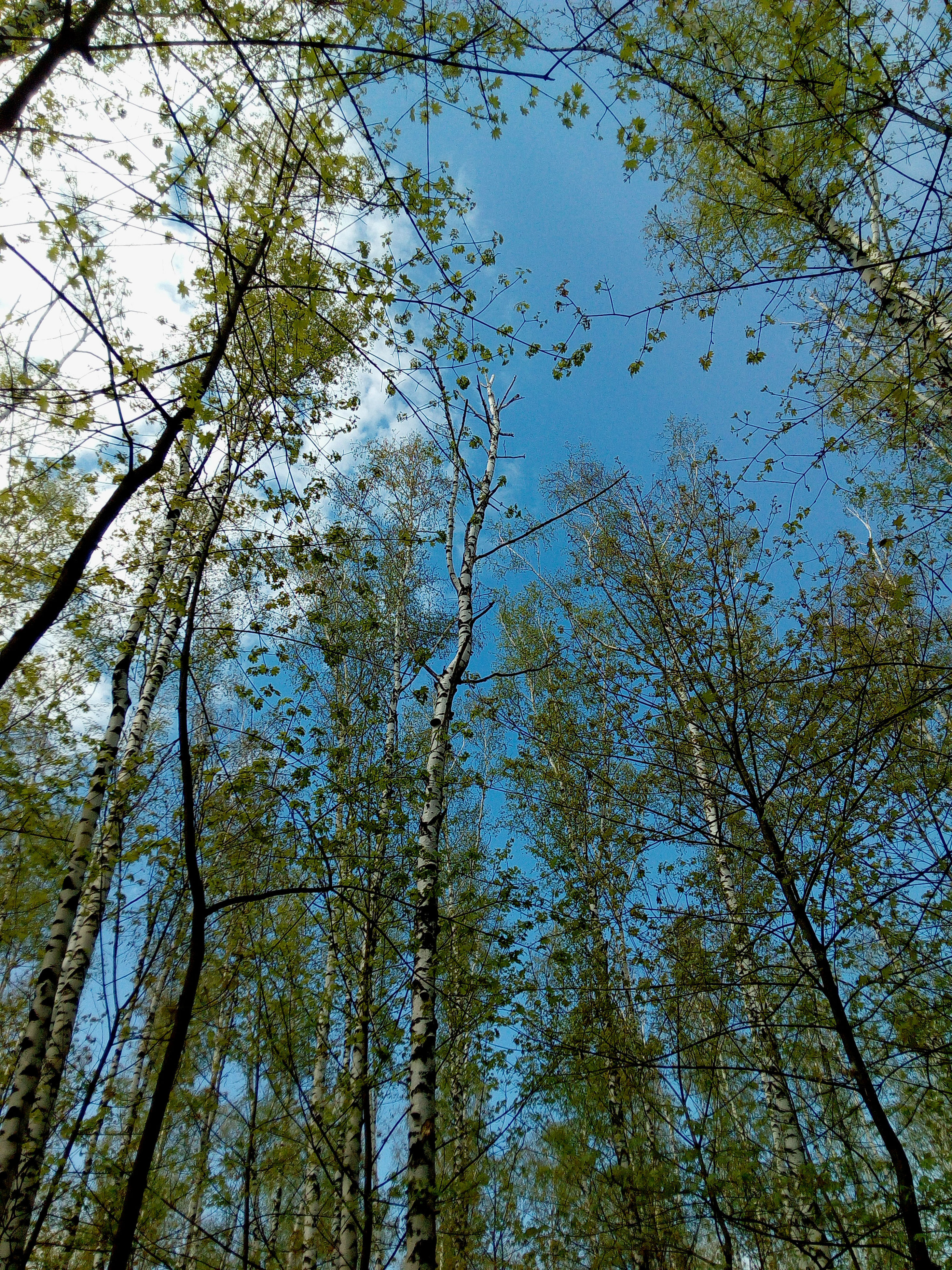 low angle view, tree, growth, branch, clear sky, scenics, nature, beauty in nature, forest, blue, tranquility, sky, tree trunk, tranquil scene, day, tall, woodland, non-urban scene, tall - high, outdoors, full frame, green color, tree canopy, green, high section, treetop
