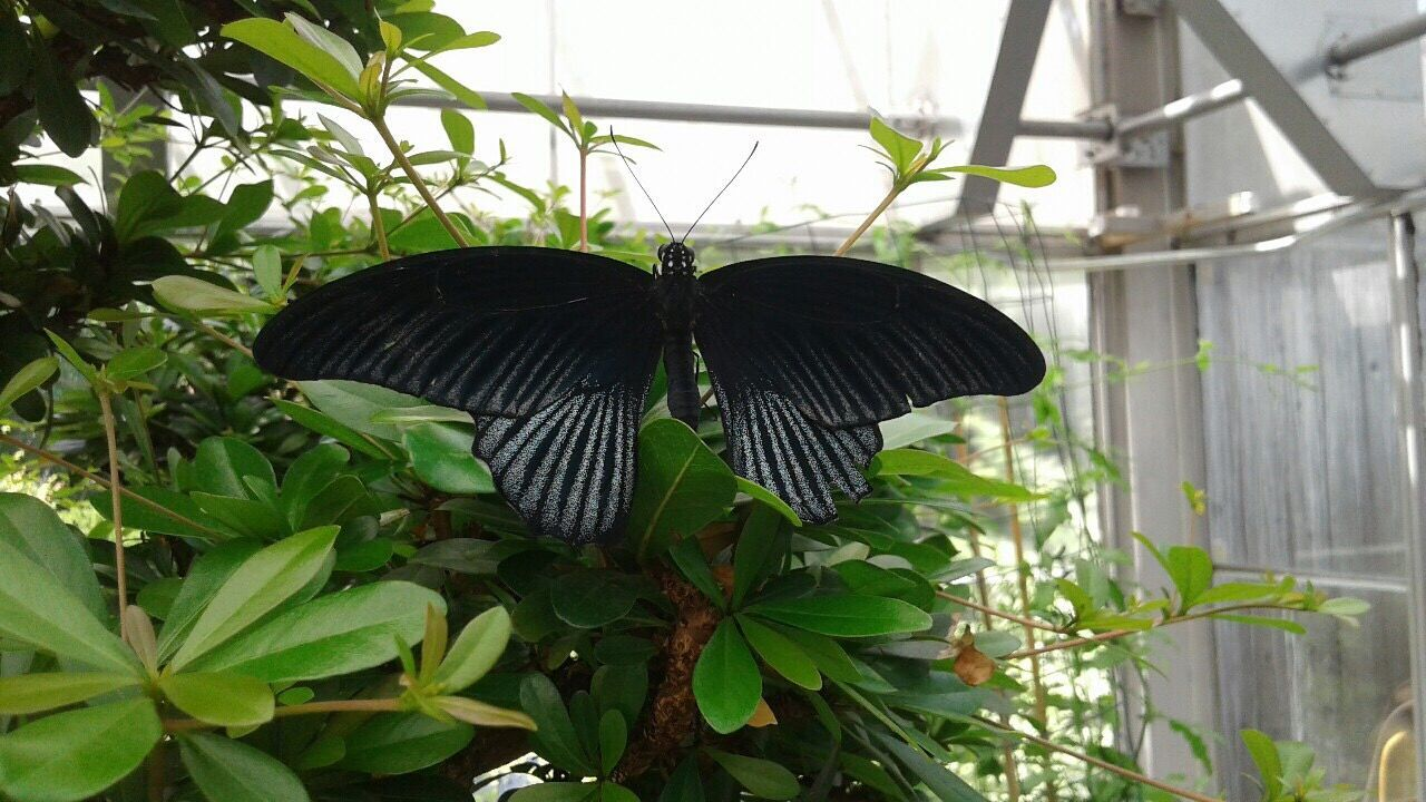 Leaf Plant Butterfly - Insect Growth Animals In The Wild Animal Themes One Animal Insect Day Nature Animal Wildlife Black Color Green Color No People Outdoors Beauty In Nature Close-up Perching Greenhouse Spread Wings