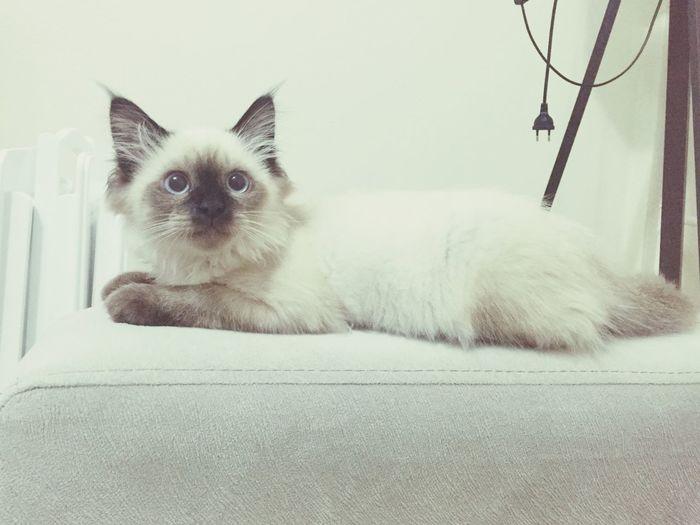 Pets MyBoy Cat Ragdollkitten