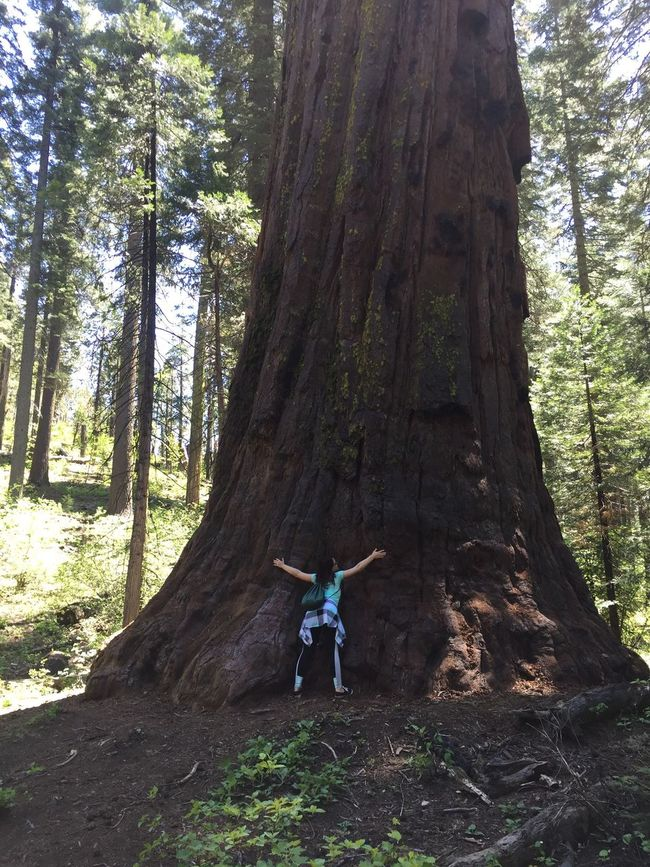 California Tree Hugger Sequoia National Park Giant Sequoia