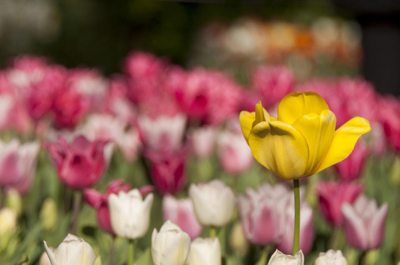 Colorfull EyeEm Nature Lover Flower Collection Flowers Flowers,Plants & Garden Garden Pralormo Tulip Yellow