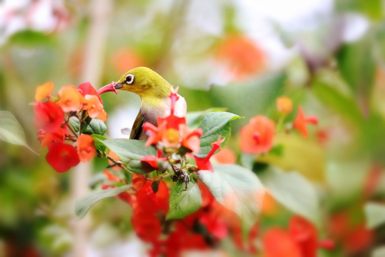 Animal Themes Bird One Animal Animals In The Wild Nature Focus On Foreground Flower Animal Wildlife Close-up Beauty In Nature Day Perching Feeding  Hummingbird Growth Freshness Outdoors No People Hovering