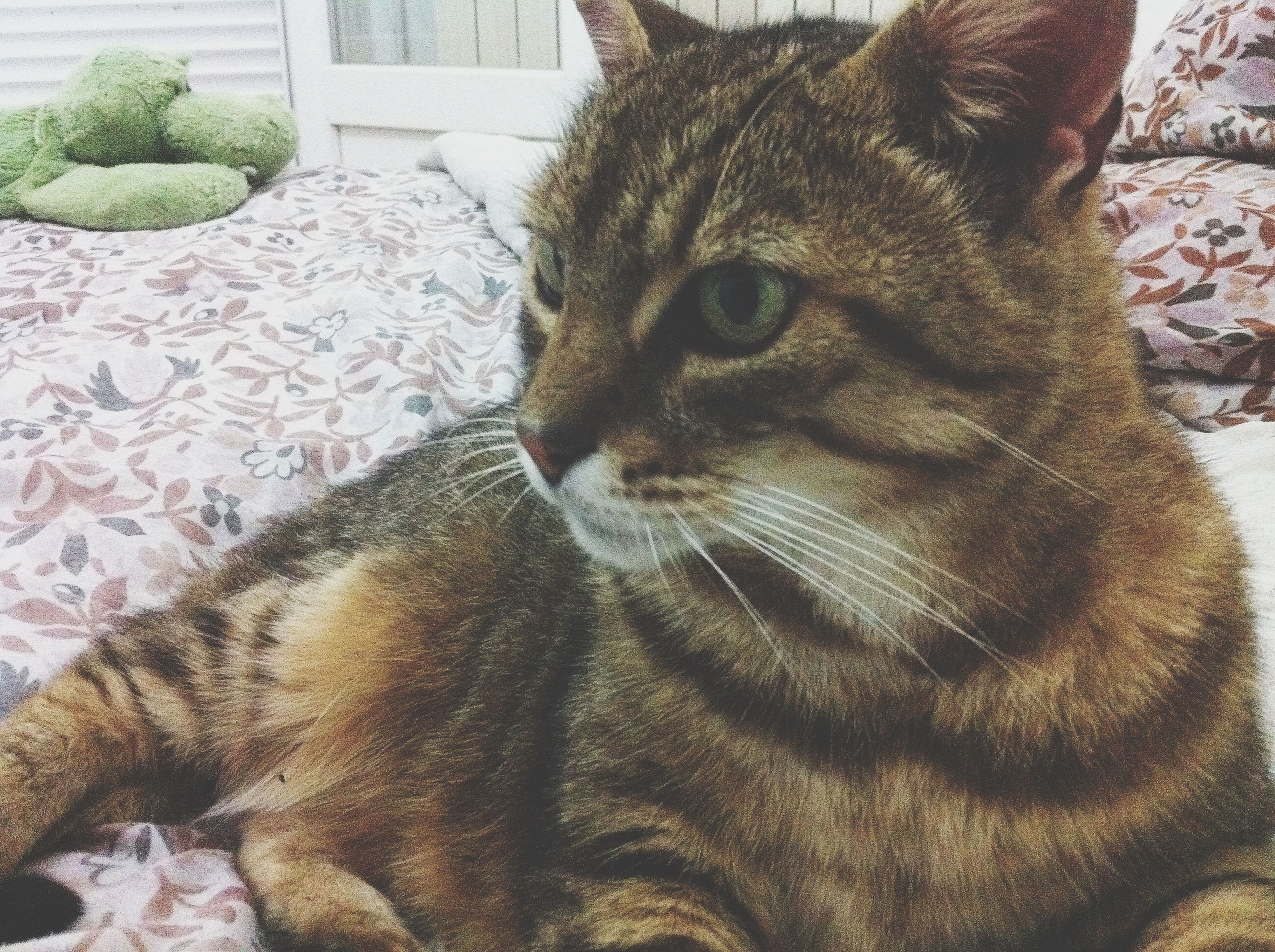 animal themes, one animal, mammal, domestic animals, feline, domestic cat, whisker, pets, close-up, animal head, cat, relaxation, looking away, resting, zoology, lying down, vertebrate, no people, animal, animal body part