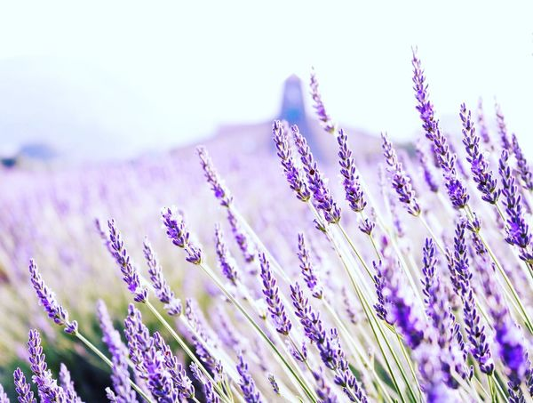Purple Flower Nature Plant Growth Beauty In Nature Field No People Outdoors Scented Landscape Close-up Day Fragility Freshness Sky