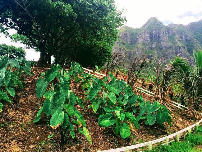 Taro Plants Growth Mountain No People Day Tranquil Scene Oahu, Hawaii The Week On EyeEm Second Acts Island Of Oahu, Hawaii Oahu / Hawaii Oahu Hawaii Oahu An Eye For Travel