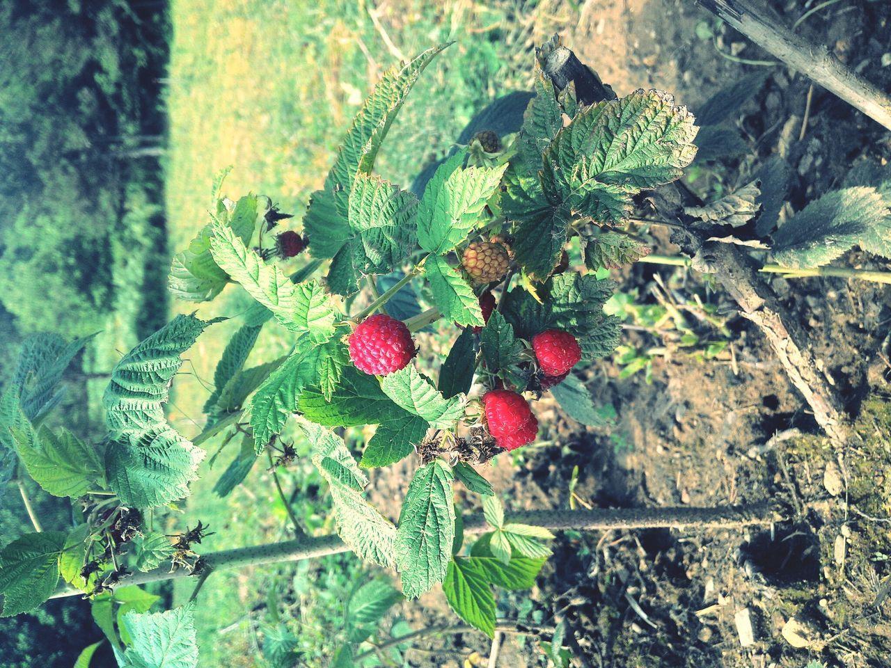 Ahududu Raspberry Nature Fruit Fruits DoğalyaşamSaitabat Bursa / Turkey Uludağın Etekleri :) 2015  Colorful