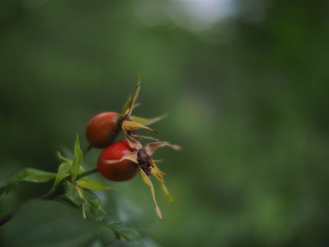 A sure sign of autumn Rose Hip Rosehips Rosehip Rose Hips Beauty In Nature Nature On Your Doorstep Narrow Depth Of Field Natural Beauty Beauty In Nature Autumn Autumn Colors Autumn🍁🍁🍁 Shallow Depth Of Field Selective Focus