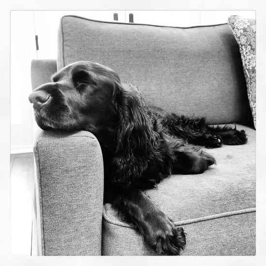 IPhoneography Black & White Black And White Dog Dogs Spaniel Field Spaniel Blackandwhite