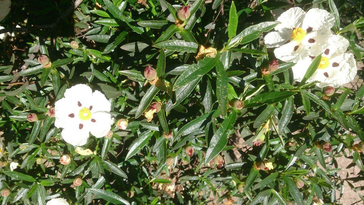 Jara En Flor Jara Flor Blossom Mediterranean Flowers