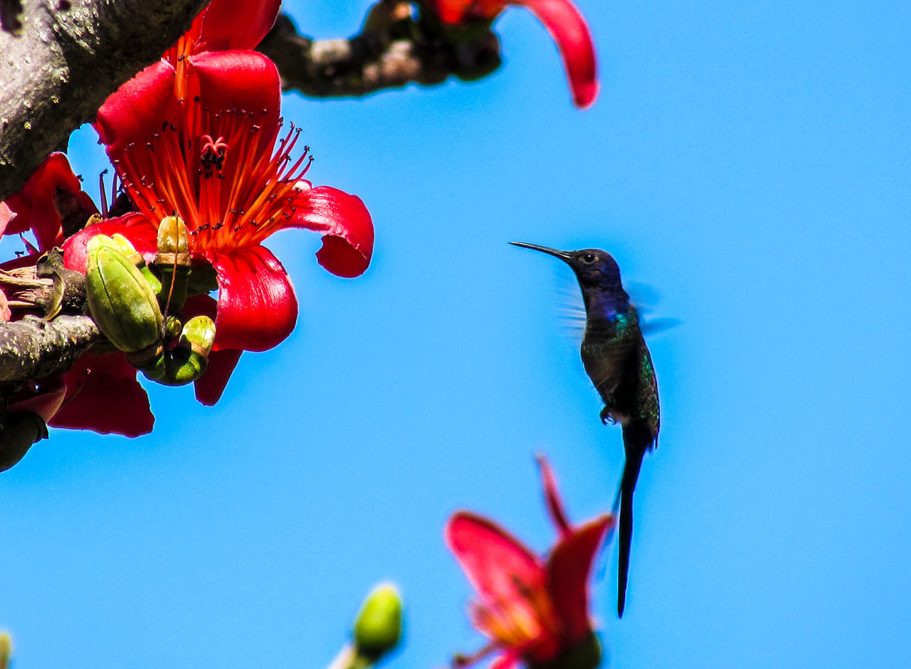 Hummingbird enjoying the flower Animal Animal Themes Animals In The Wild Beauty In Nature Bird Bird Photography Birds Birds_collection Clear Sky Close-up Day Flower Flowers Flying Fragility Hummingbird Hummingbirds Nature No People One Animal Outdoors Red Wing Wings Winter