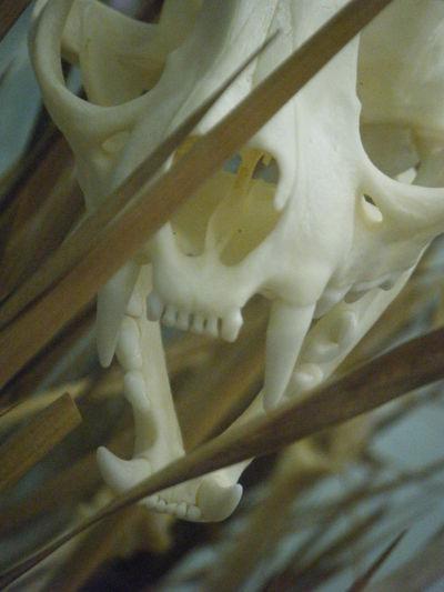 Animal Skeleton Bones Brown Dead Fangs Grass Rodent Scary Skeleton Teeth White