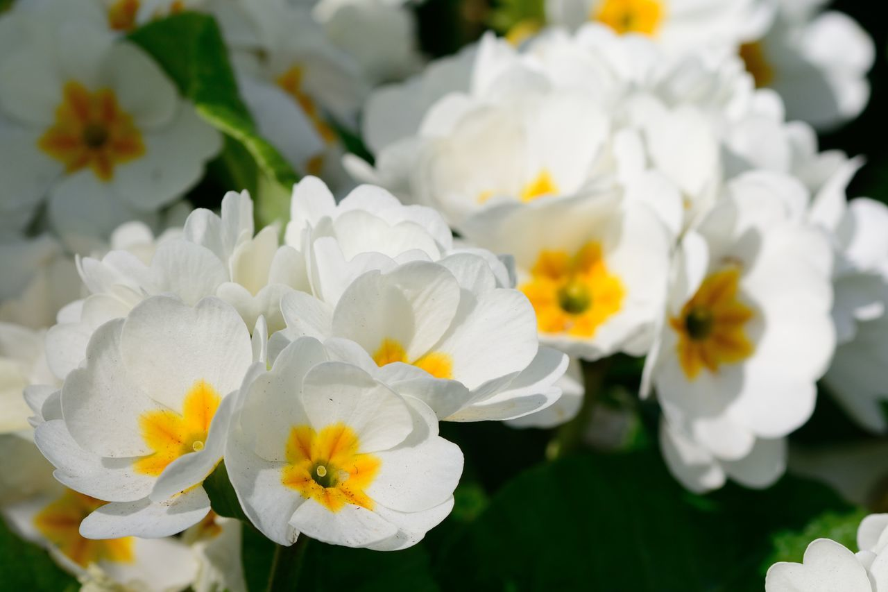 Beauty In Nature Blooming Check This Out Close-up Day Eye4photography  EyeEm Best Shots EyeEm Nature Lover Flower Flowers Fragility Freshness Growth Macro Nature No People Non-urban Scene Outdoors Petal Plant Primrose Spring Spring Flowers Taking Photos White Color