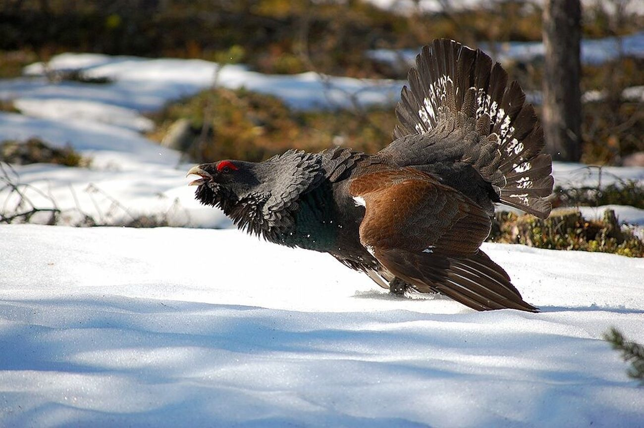 Tetrao urogallus(great grouse) playing during spring-time, swedish lapland. Tetrao Urogallus Grouse Springtime Playing EyeEmNewHere Long Goodbye