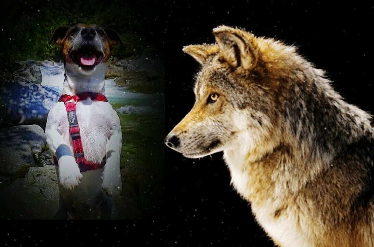 animal themes, dog, mammal, one animal, no people, wolf, night, pets, nature, close-up, outdoors, black background