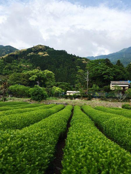 Japan Shizuoka Green Japanesetea Teaplantation History Relaxing Mountain Japanese Culture Clorful