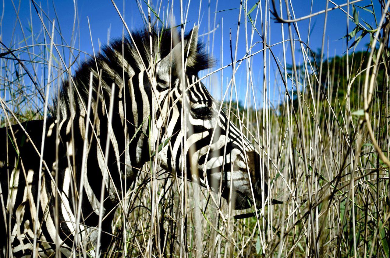 Zebra friends Umlalazi Bliss Nature_love Contrasting Beauty