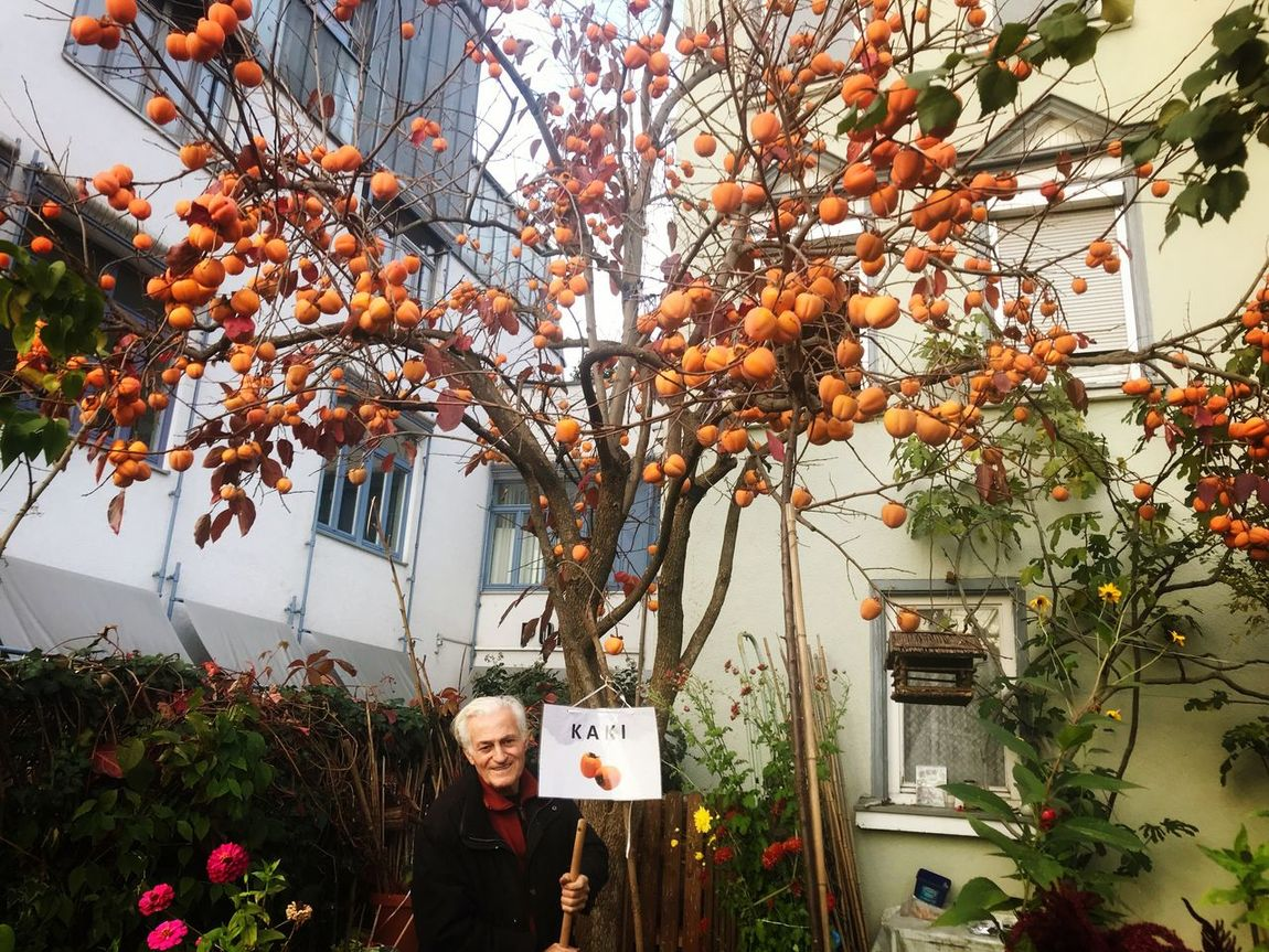 Man proudly presenting his Kaki tree in Esslingen, Germany Tree Senior Adult Outdoors Building Exterior Branch Day Nature Adults Only Fruit Growth Adult One Person Beauty In Nature Architecture Kaki Kaki Fruit Kaki Tree Esslingen Am Neckar Esslingen Tree Proud People Freshness Sky